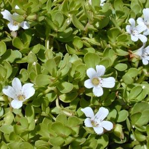 Plantas medicinales antioxidantes: Bacopa Enana