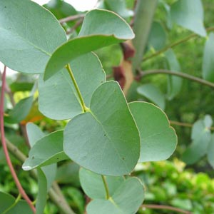 Plantas medicinales antisépticas: Eucalipto