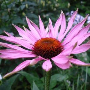 Plantas medicinales antibióticas: Echinacea