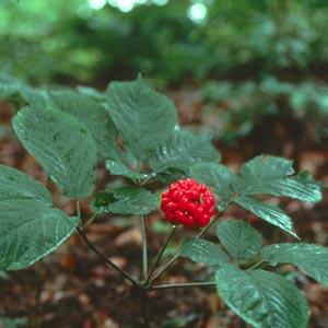 Plantas medicinales afrodisíacas: Ginseng Chino