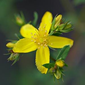 Plantas medicinales antidepresivas: Hierba de San Juan