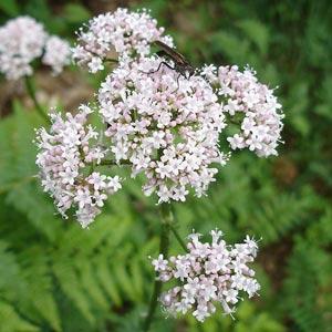 Plantas medicinales relajantes: Valeriana